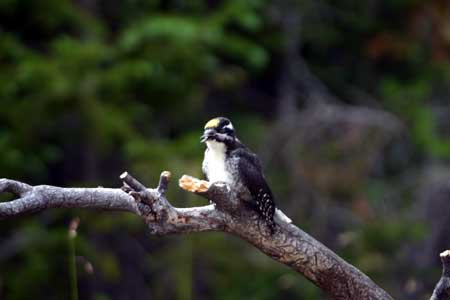 Three Toed Woodpecker Pictures
